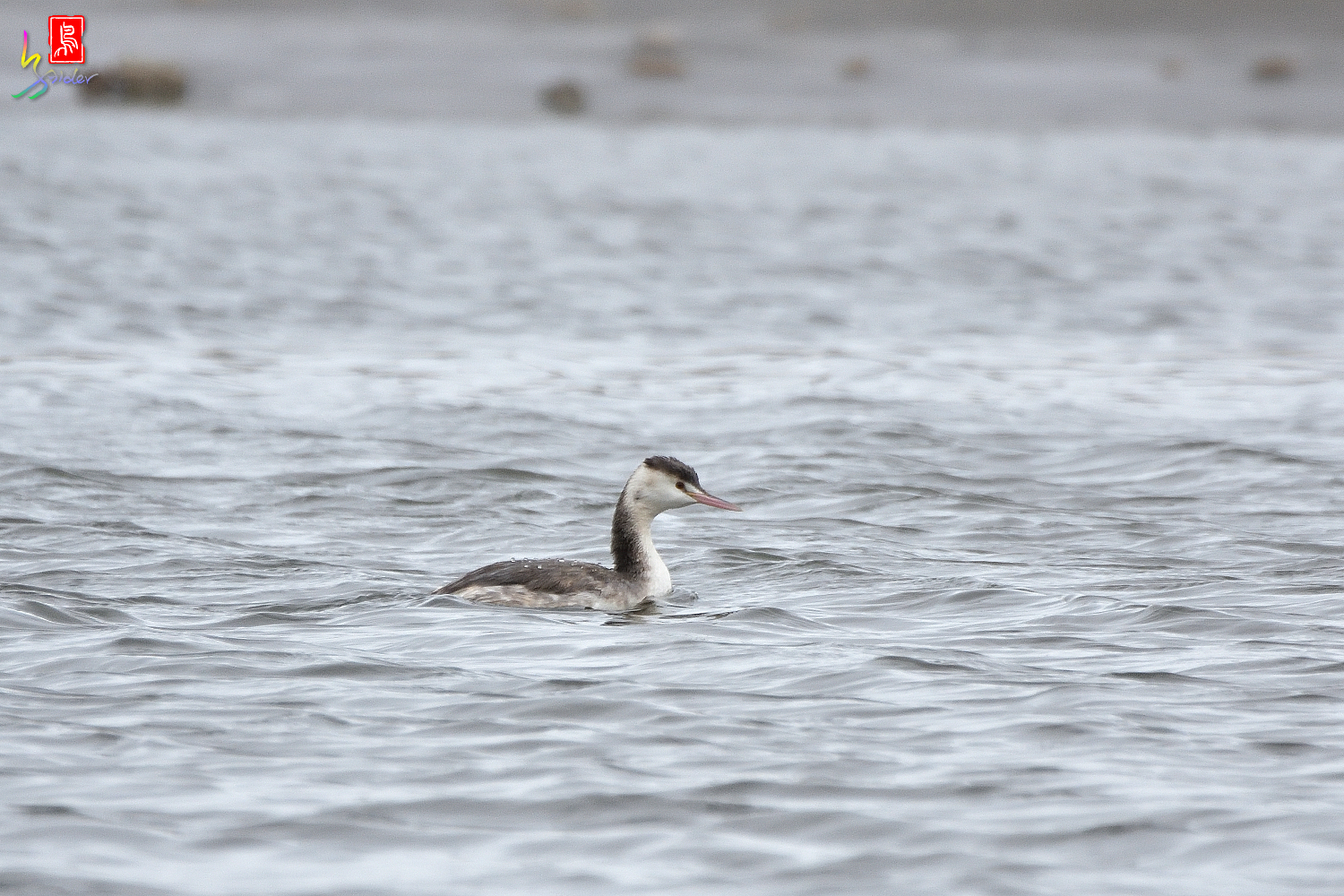 Crested_Grebe_7943
