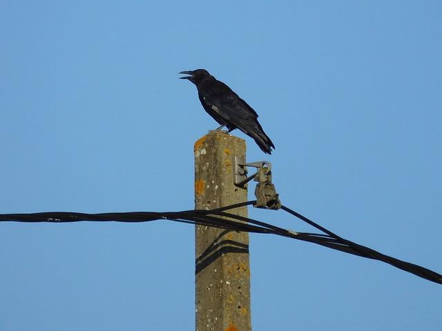 Raven in France