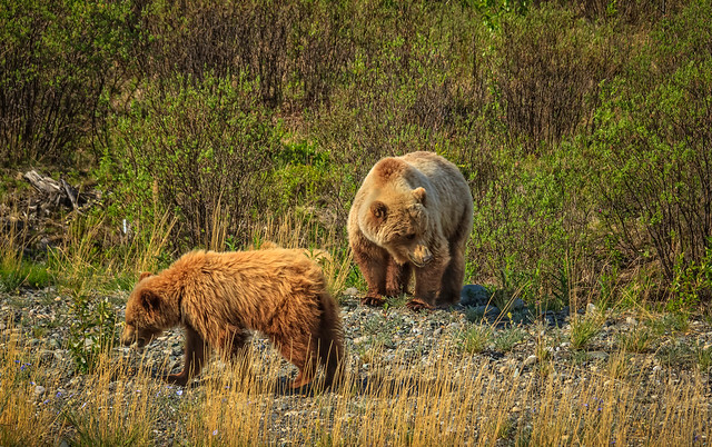 Cub and Mother Grizzly