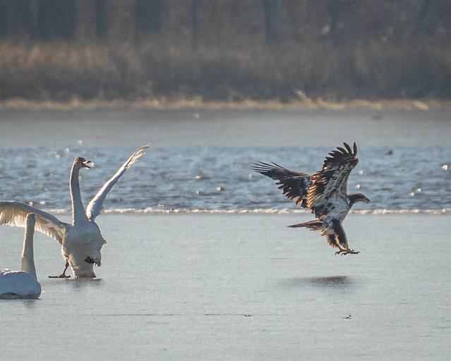 Juvenile Bald Eagle harrasses Juvenile Swan 3 of 3