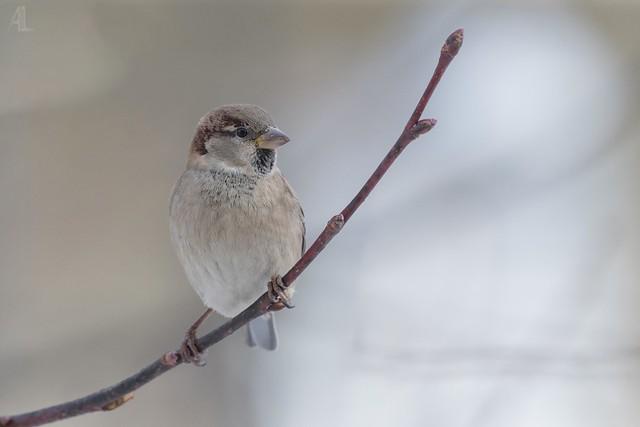Moineau domestique // House Sparrow