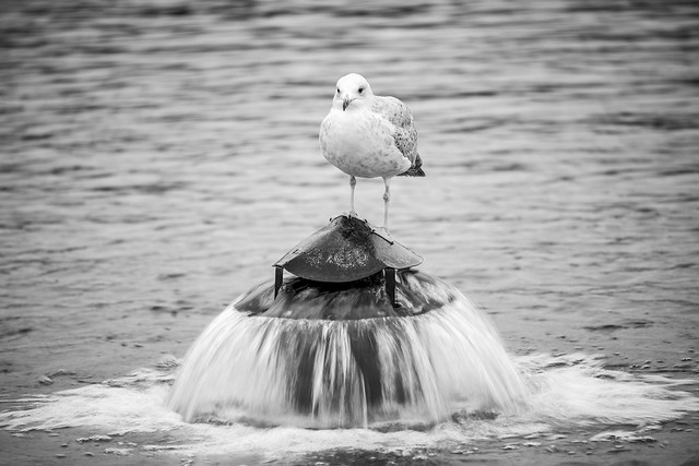 Lone Seagull - Hyde Park, London, England, United Kingdom