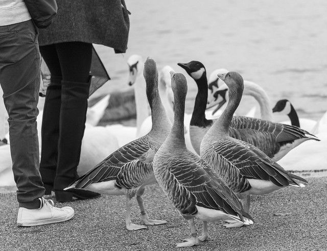 Geese at Hyde Park, London, England, United Kingdom