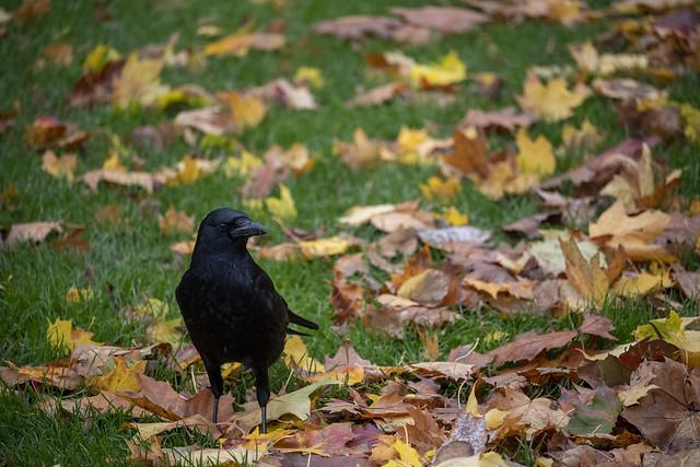 Raven - Hyde Park, London, England, United Kingdom