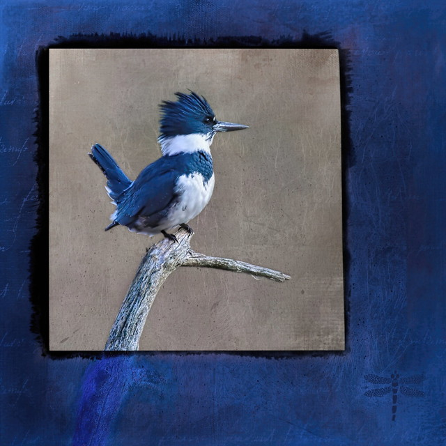 belted kingfisher (Megaceryle alcyon) . . .