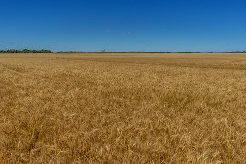 rm elton ripe wheat landscape manitoba マニトバ州 canada カナダ 8月 八月 葉月 hachigatsu hazuki leafmonth 2019 reiwa summer august