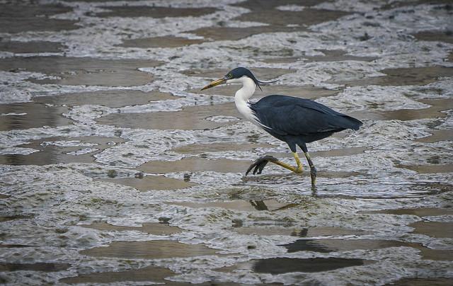 Samulaki, Pied Heron