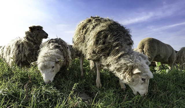 sheep at lunch