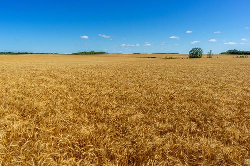rm elton wheat landscape manitoba マニトバ州 canada カナダ 8月 八月 葉月 hachigatsu hazuki leafmonth 2019 reiwa summer august