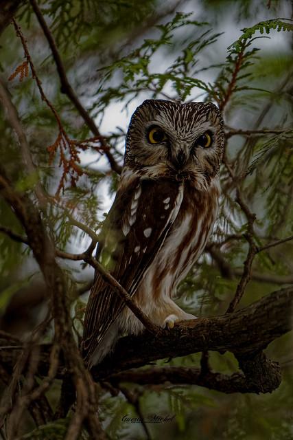 Petite Nyctale -  Northern Saw-whet Owl  - Aegolius acadicus