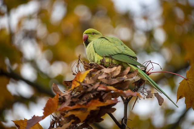 Hyde Park Parakeet - London, England, United Kingdom