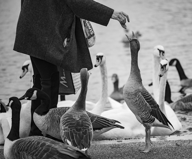 Feeding the Geese at Hyde Park, London, England, United Kingdom