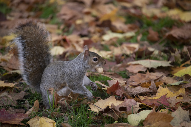 Squirrel with Peanut - Hyde Park, London, England, United Kingdom
