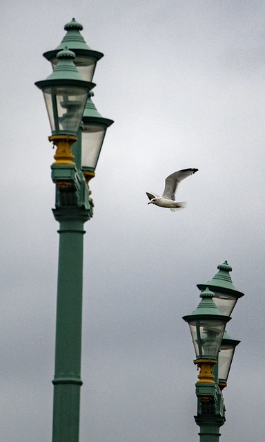 Herring Gull in Flight over Southwark Bridge - Downtown London, England, United Kingdom