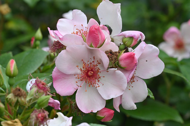 Rosa 'Astronomia'