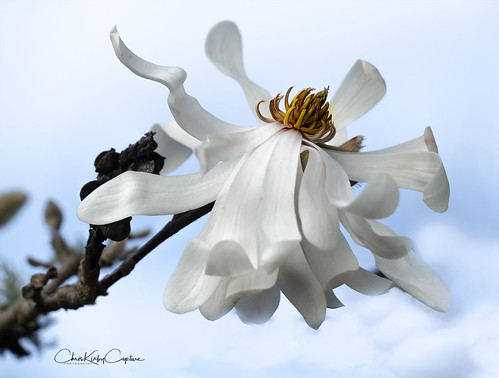 Star Magnolia | by ChrisKirbyCapturePhotography