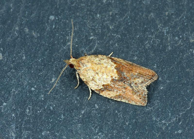 49.039 Light Brown Apple Moth - Epiphyas postvittana