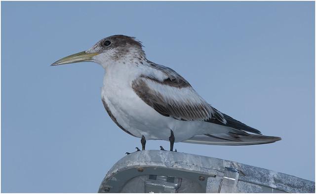 Crested Tern - Nightcliff, Darwin Harbour, NT, Australia..