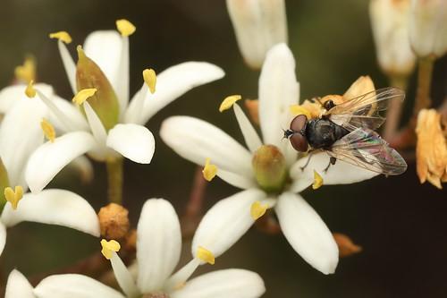 Phasia? fly on Sweet Bursaria_19-11-18_1