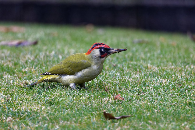 pivert  / Picus viridis 19E_5787