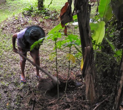 2) Choosing a Papaya from the Compost
