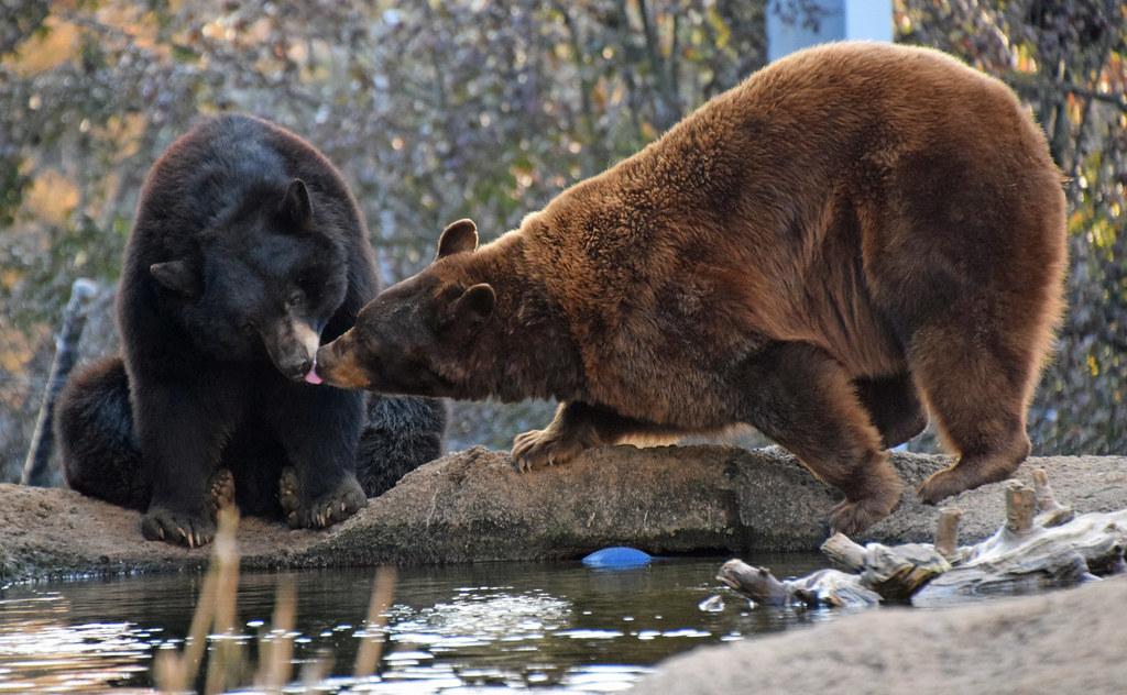 Bear Kisses