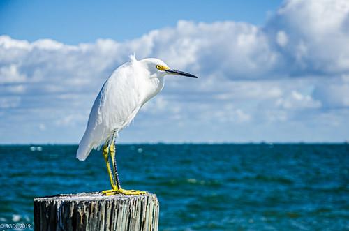 lightroomcc nikond7000 annamariaisland bgdl seascape nikkor18105mm3556g florida egret featheredfriend beginswithf week48 weeklytheme flickrlounge
