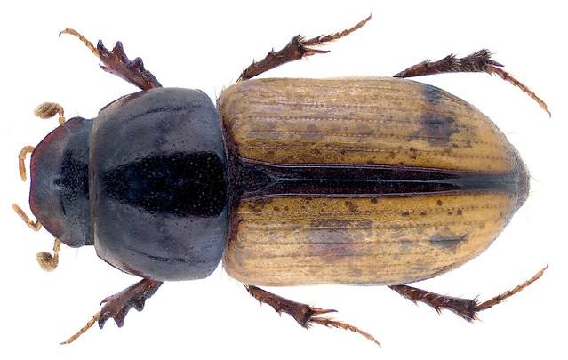 Pseudesymus lucidus Klug, 1845