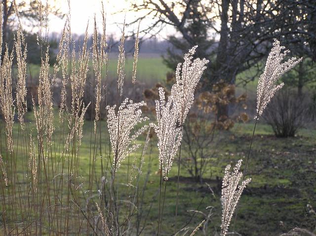 Calamagrostis x acutiflora 'Karl Foerster' & Miscanthus sinensis 'Dronning Ingrid'