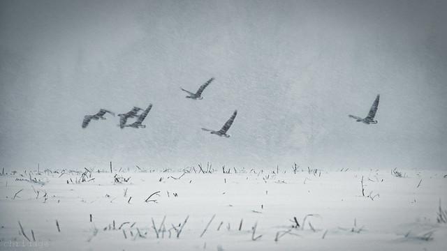 Graugänse im Schneetreiben