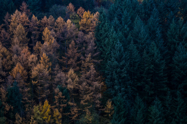 fir/leaves
