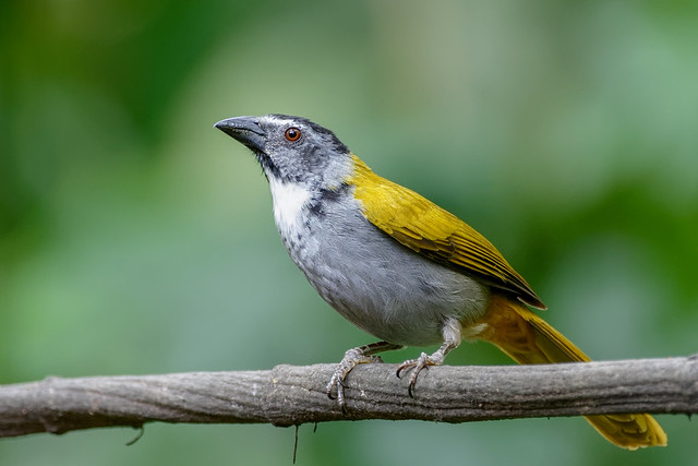 Black-headed Saltator / Costa Rica