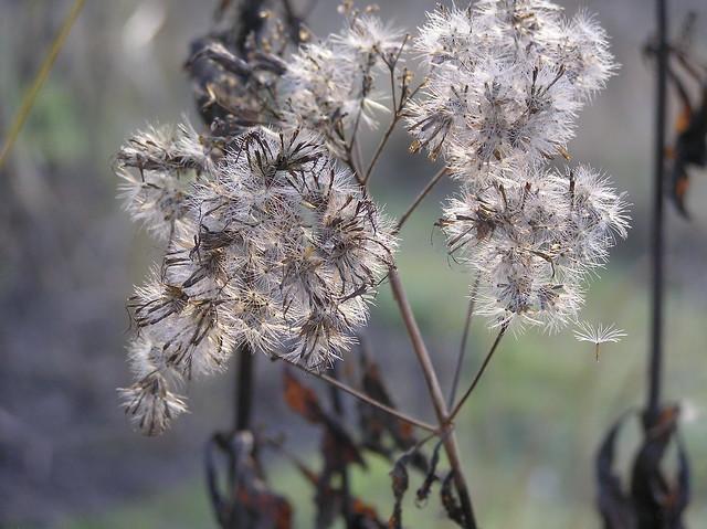 Eupatorium maculatum 'Phantom'