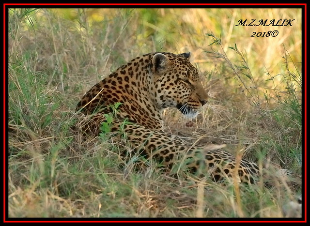 FEMALE LEOPARD (Panthera pardus) ...MASAI MARA.....SEPT 2018.