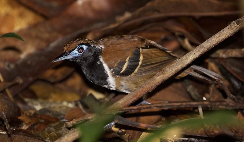 Ferruginous-backed Antbird_Myrmoderus ferrugineus_Guyana_Ascanio_ 199A6166