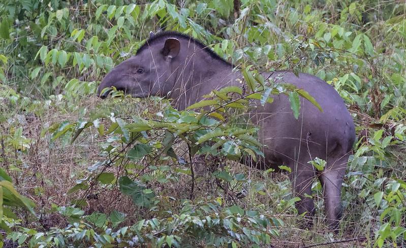 Brazilian Tapir_TApirus terrestris_Ascanio_Guyana_ 199A5541