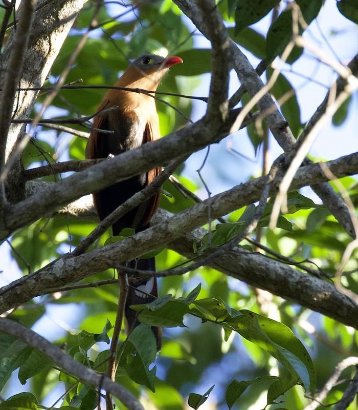 Black-bellied Cuckoo_Piaya melanogaster_Guyana_Ascanio_199A5878