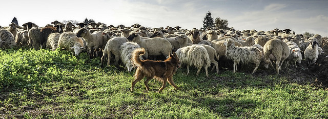 sheep dog and herd
