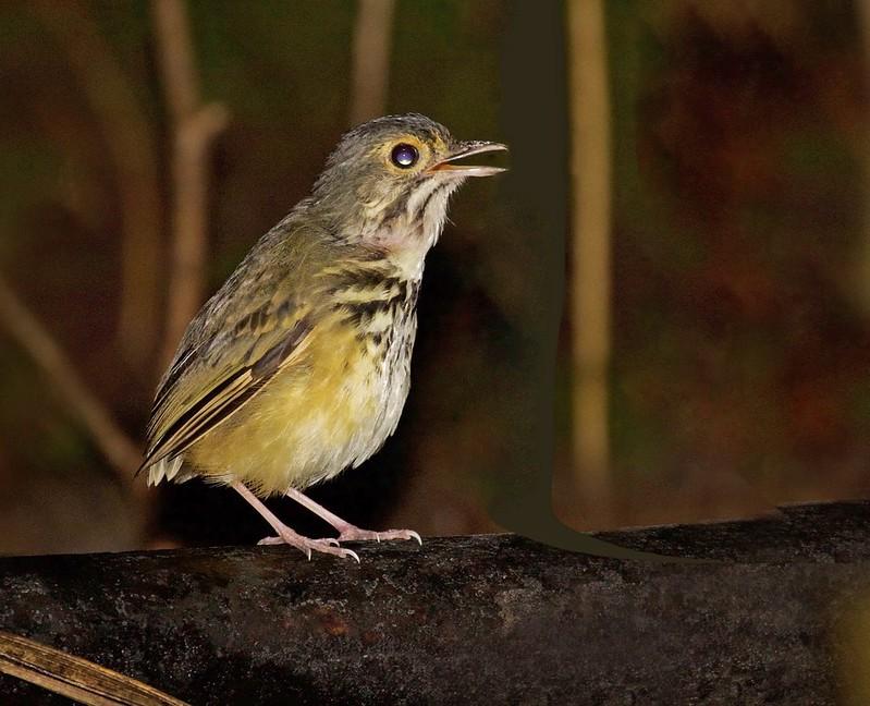 Spotted Antpitta_Hylopezus macularius_Ascanio_Guyana_199A5209