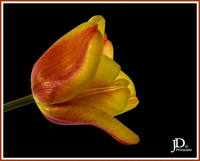 Yellow and orange Tulip-1