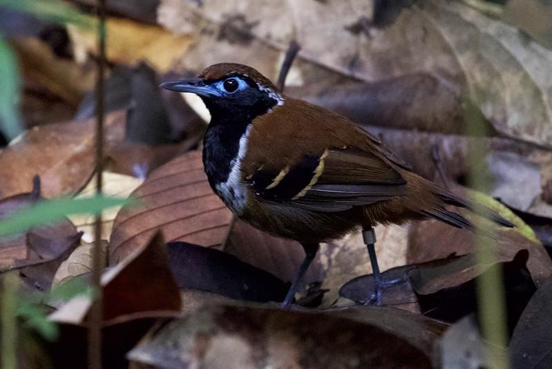 Ferruginous-backed Antbird_Myrmoderus ferrugineus_Guyana_Ascanio_199A5817