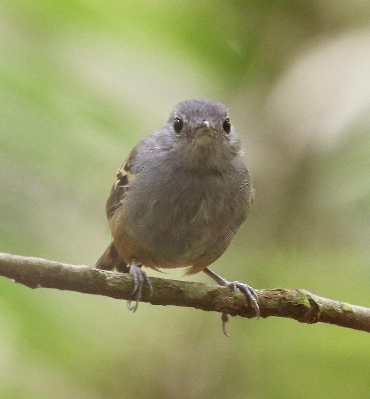 Rufous-bellied Antwren_Isleria guttata_Guyana_Ascanio_ 199A6473