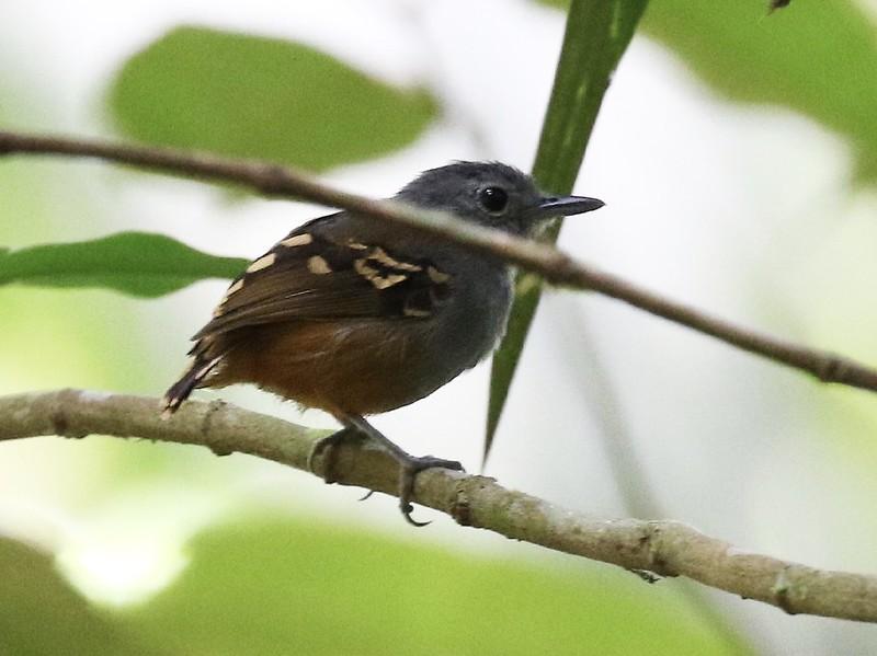 Rufous-bellied Antwren_Isleria guttata_Guyana_Ascanio_ 199A6446