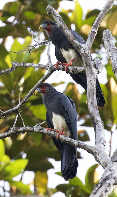 Red-throated Caracara_Ibycter americanus_Guyana_Ascanio_ 199A6114