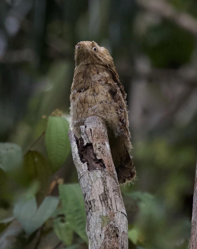 Long-tailed Potoo_Nyctibius aethereus_Guyana_Ascanio_ 199A5946