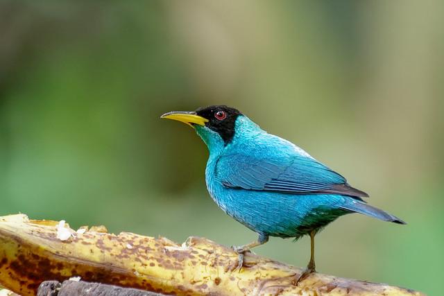 Guit-guit émeraude / Costa Rica