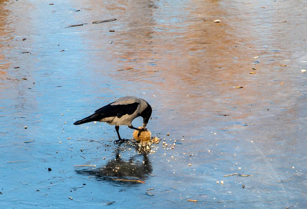crow_ice