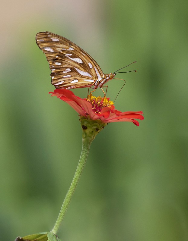 Butterfly on flower_Ascanio_Guyana_199A5757