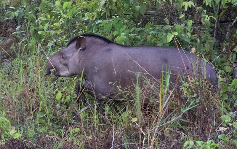 Brazilian Tapir_TApirus terrestris_Ascanio_Guyana_199A5524
