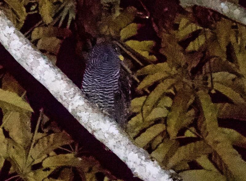 Black-banded Owl_Ciccaba huhula_Ascanio_Guyana_199A5547